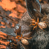 11005-50007 Wingless bat flies (Mystacinobia zelandica) adult flies on short-tailed bat. Rangataua Forest *