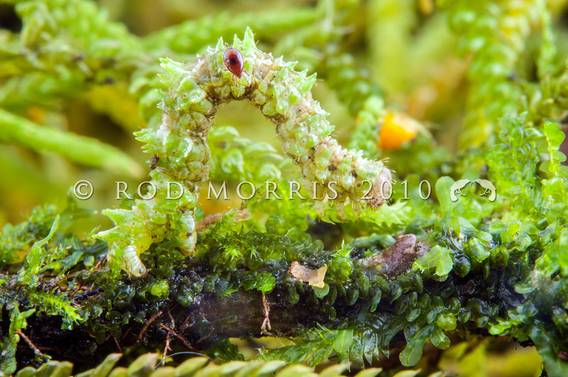 DSC_0700 Looper moth (Helastia cryptica) caterpillar on old mans beard (Weymouthia mollis) moss. Makarora *