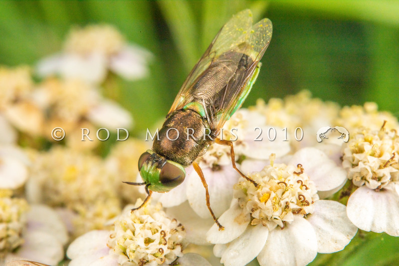 DSC_4234 Green soldier fly (Odontomyia viridula) female on yarrow (Achillea millefolium) flowers. A small, robust fly with a metallic bronze thorax, and flattened lime green abdomen. The large rounded head has very large eyes. It visits the flowers of willow, hawthorn, irises or Umbellifers growing in wet meadows. The larvae feed on algae or decaying organic matter. Lake Mahinerangi *