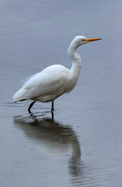 White Heron, Milford Sound.