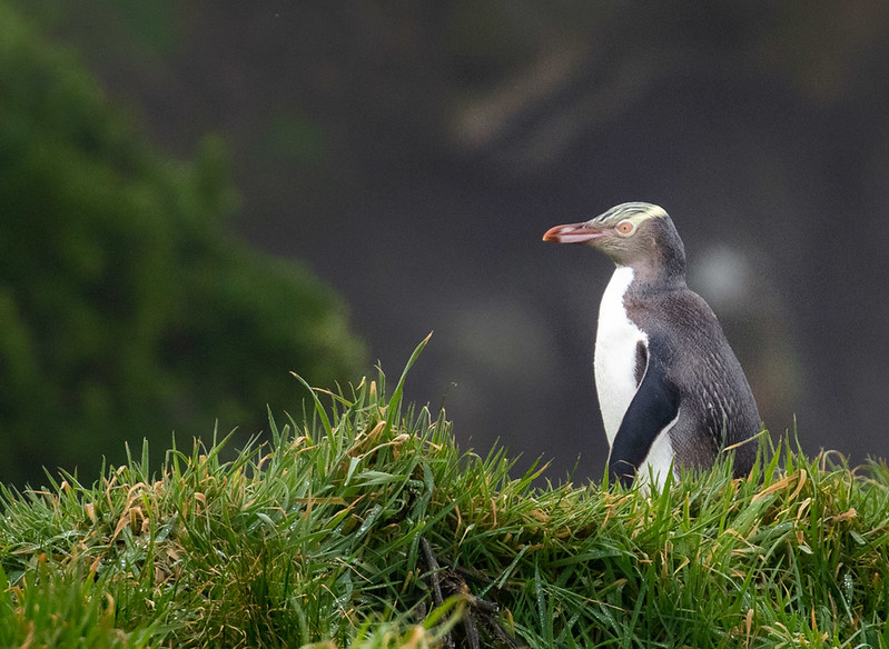 Yellow-eyed Penguin, Katiki Pt.