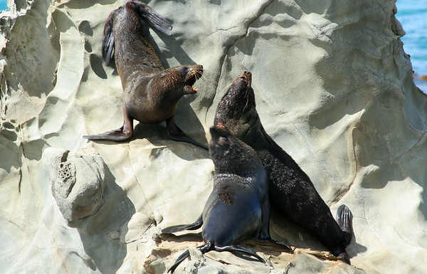 High drama in the seal colony.  The smaller ones would bark and show teeth, but the larger seals inevitably got the choice spots.