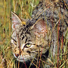 11002-23118  Feral cat (Felis catus) a young cat stalking through long grass on edge of beech forest. Broken River, Craigieburn *