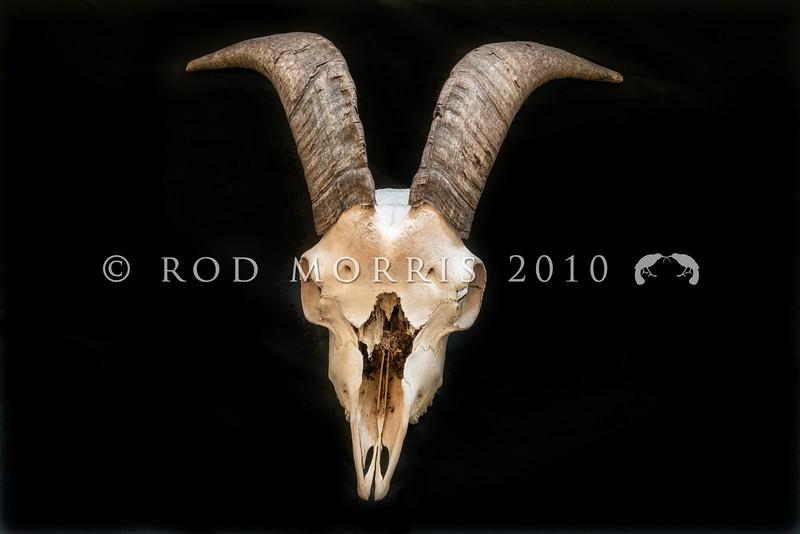 DSC_8101516  Feral goat (Capra hircus) skull *