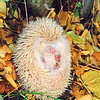 11002-13203  European hedgehog (Erinaceus europaeus) albino male curled up in autumn leaves. Clyde *