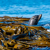 DSC_3134  New Zealand fur seal (Arctocephalus forsteri) adult swimming amongst bull kelp of the coast of South East Island, Chathams Group *