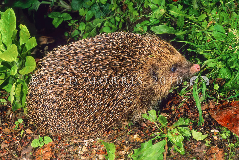 11002-13102  European hedgehog (Erinaceus europaeus) an unusual pink-nosed female foraging in vegetable garden. This seemingly innocuous introduced 'insectivore' poses the greatest predation risk to native species in places like the Mackenzie Basin where more than 50% of all nests of ground-nesting birds - stilts, dotterels, black-billed gulls, black-fronted terns and pipits - are being lost to hedgehog predation. In addition, they target native reptiles such as skinks and invertebrates such as beetles, grasshoppers and weta. Karitane *