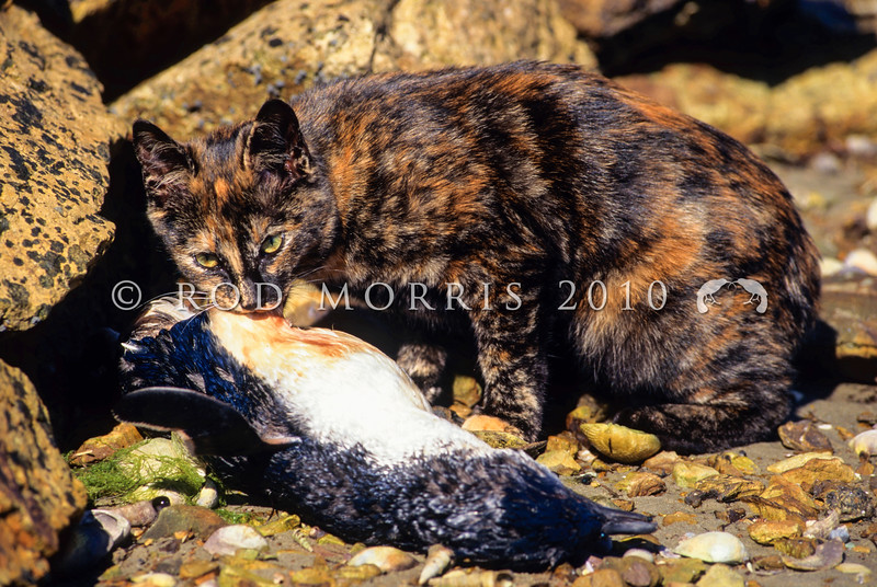 11002-23123  Feral cat (Felis catus) feeding on a little blue penguin outer Otago Harbour *