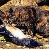 11002-23123  Feral cat (Felis catus) feeding on a little blue penguin outer Otago Harbour