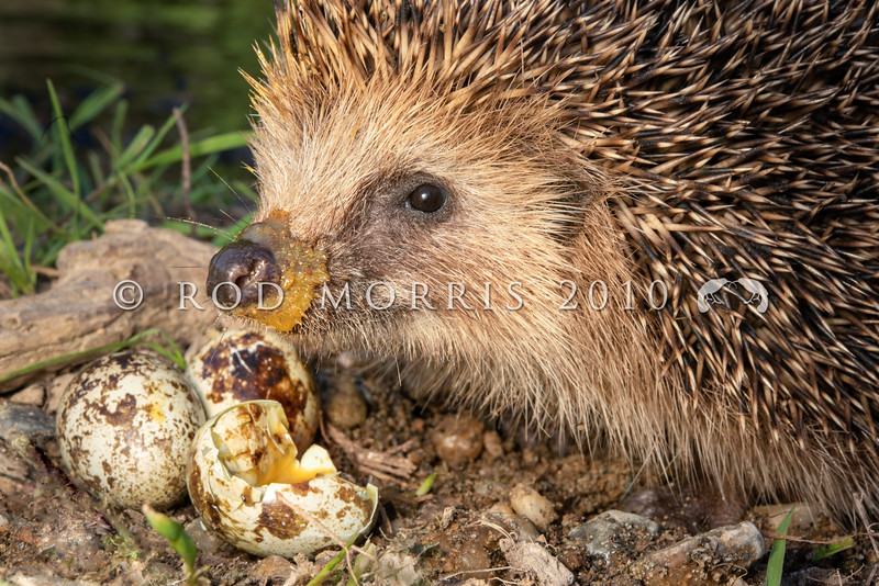 DSC_3176  European hedgehog (Erinaceus europaeus) male eating quail eggs on riverbank. This seemingly innocuous introduced 'insectivore' poses the greatest predation risk to native species in places like the Mackenzie Basin where more than 50% of all nests of ground-nesting birds - stilts, dotterels, black-billed gulls, black-fronted terns and pipits - are being lost to hedgehog predation. In addition, they target native reptiles such as skinks and invertebrates such as beetles, grasshoppers and weta. Shotover River, Queenstown *