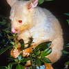 11002-06216  Brushtail possum (Trichosurus vulpecula) an albino male feeding in Coprosma, Rotorua *
