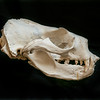 DSC_8101536  New Zealand fur seal (Arctocephalus forsteri) skull of male *