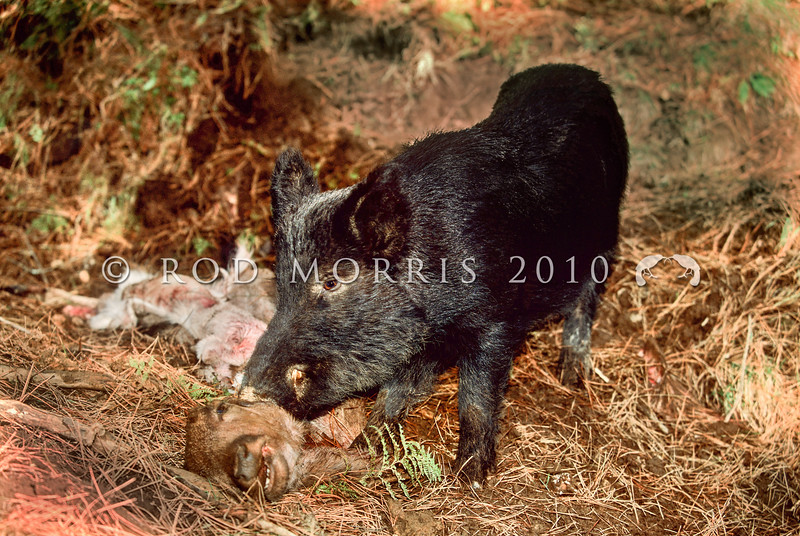 11002-25111 Feral pig (Sus scrofa) boar scavenging on dead fallow deer in pine forest *