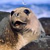 11002-45418  Southern elephant seal (Mirounga leonina) adult female *
