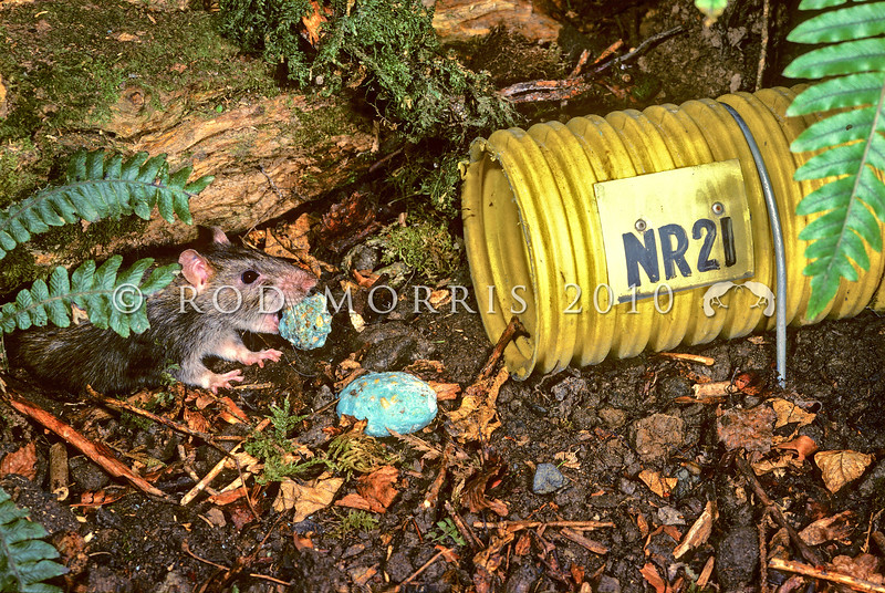 11002-19109  Norway or brown rat (Rattus norvegicus) stealing bait from a bait station on Breaksea Island. This rat is thought to have originated in north-eastern China *