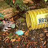 11002-19109  Norway or brown rat (Rattus norvegicus) stealing bait from a bait station on Breaksea Island. They are excellent swimmers, and some of the most dramatic impacts of Norway rats have been seen on islands where they cause significant damage to seabird populations by eating eggs, chicks and occasionally adults *