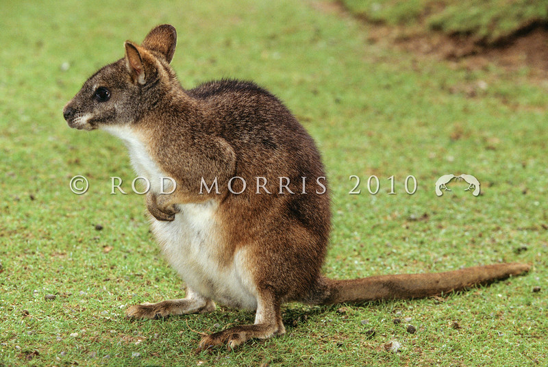 11002-09101  Parma wallaby (Macropus parma) the smallest wallaby in its genus. Rediscovered on Kawau Island in 1965 when it was thought to be extinct in Australia *