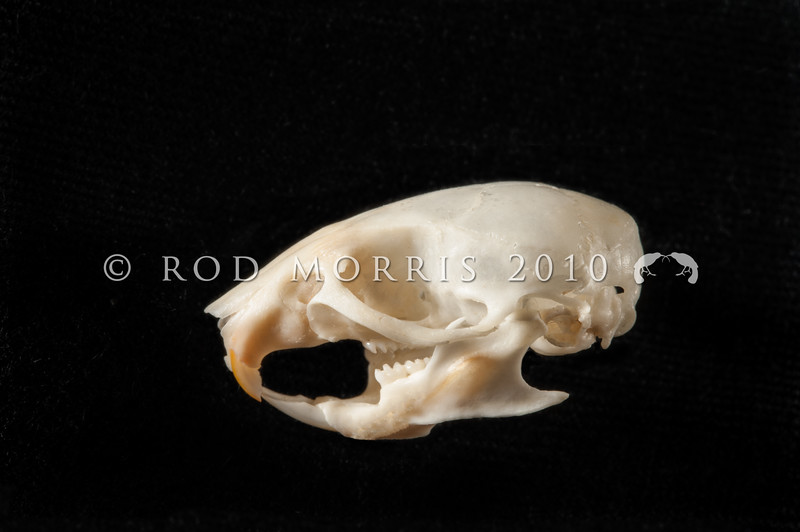 DSC_8537 House mouse (Mus musculus domesticus) lateral view of skull prepared by George Holley. Mice are often overlooked as predators, but mouse numbers increase in many areas in summer when pasture grasses seed, providing an abundance of food. Mice are significant predators of insects, especially beetles and caterpillars, as well as small reptiles, and the eggs and young of small birds. Wellington *