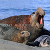 11002-45415  Southern elephant seal (Mirounga leonina) adult male guarding lactating female and pup *