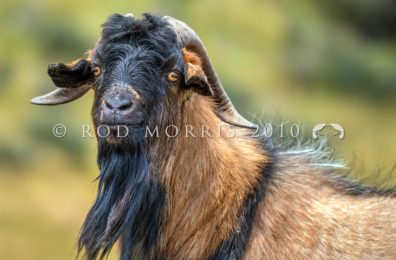 DSC_1988 Feral goat (Capra hircus) wild male. Typical colour of feral goats in the Lake Wakatipu area. Arrowtown *