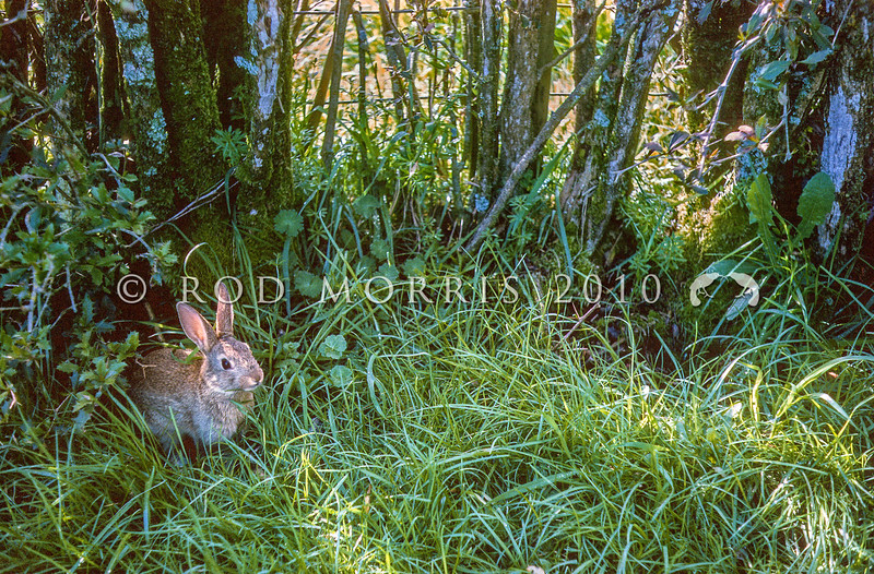 11002-14114 European rabbit (Oryctolagus cuniculus cuniculus) young rabbit emerging from a burrow beneath a farm hedgerow. Te Poi, Waikato *