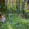 11002-14114 European rabbit (Oryctolagus cuniculus cuniculus) young rabbit emerging from a burrow beneath a farm hedgerow. Te Poi, Waikato *