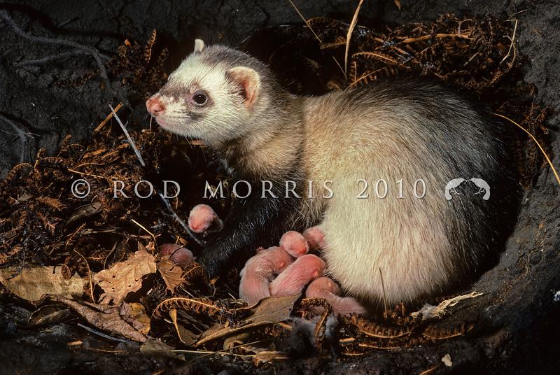 11002-22113  Feral ferret (Mustela putorius furo) female with seven newborn young in den. Adult female ferrets are only half the weight of males. This great size difference in the sexes has led to great gender differences in diet: male ferrets prey more on rabbits, females more on rats. In Northland, following the collapse of a struggling ferret fur-farming industry, many farmers went bankrupt and simply released their animals into the wild which has resulted in a dramatic decrease in kiwi in Northland. Ferrets are one of only two predators (the other being dogs), capable of killing adult kiwi.
