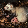 11002-22113  Feral ferret (Mustela putorius furo) with newborn young in den