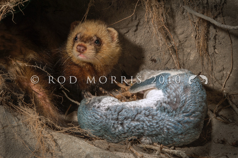DSC_9100 Feral ferret (Mustela putorius furo) male with predated little blue penguin in nest burrow. Adult male ferrets are twice the weight of females. This great size difference in the sexes has led to great gender differences in natural prey: male ferrets prey more on rabbits, females more on rats. However in New Zealand a large number of rare native bird species including kiwi, have also been documented. Otago Peninsula *
