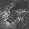 DSC_0955 Brushtail possum (Trichosurus vulpecula) nocturnal trail camera images of introduced possum's raids on native wildlife are becoming familiar to all of us. This nest, located in a gorse bush, contained three bellbird (Anthornis melanura) chicks close to fledging.  Photographed in Dunedin for Predator Free 2050 Ltd *