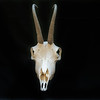 DSC_8101519 Chamois (Rupicapra rupicapra) skull of mature buck *