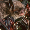 11002-04106  Northern short-tailed bat, or pekapeka tou poto (Mystacina tuberculata auporica) feeding on pollen from the parasitic woodrose (Dactylanthus taylorii) on the forest floor. This curiously semiterrestrial, omnivorous bat is the only surviving species in the bat family Mystacinidae, which is the only mammalian family endemic to New Zealand. Little Barrier Island *