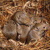 DSC_7218 House mouse (Mus musculus domesticus) a  litter of 2wk old young in an old rockwren nest. This litter contains ten young, however in a 'masting' year a mouse litter may contain as many as twenty young. In major masting years mouse populations may experience a ten-fold increase in density in beech forests. An increased abundance of rodents at such times also drives up numbers of other introduced predators such as stoats and weasels. Tutoko High Bench, Fiordland *