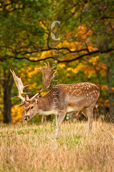 DSC_6289  Fallow deer (Dama dama) mature buck in autumn feeding on fallen acorns beneath english oaks. Blue Mountains, Southland *