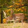 DSC_6289  Fallow deer (Dama dama) mature buck in autumn beneath english oaks, feeding on fallen acorns. Blue Mountains, Southland *