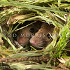 DSC_8154 House mouse (Mus musculus domesticus) heads of pair inside nest in long grass in summer. Mice are often overlooked as predators, but mouse numbers increase in many areas in summer when pasture grasses seed, providing an abundance of food. Mice are significant predators of insects, especially beetles and caterpillars, as well as small reptiles, and the eggs and young of small birds. Otago Peninsula *