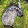 11002-14206 Rabbit (Oryctolagus cuniculus) an old doe of the French domestic breed 'Champagne d'Argent' introduced to Enderby Island in 1865 and eradicated from the island in 1991-92. This beautifully silver coloured breed provides the genetics for related breeds, such as Argente Bleu, Argente Brun, Argente Crème, and Argente St. Hubert. Champagne d'Argent is an anchient breed going back in history to at least 1631, and probably much earlier. *