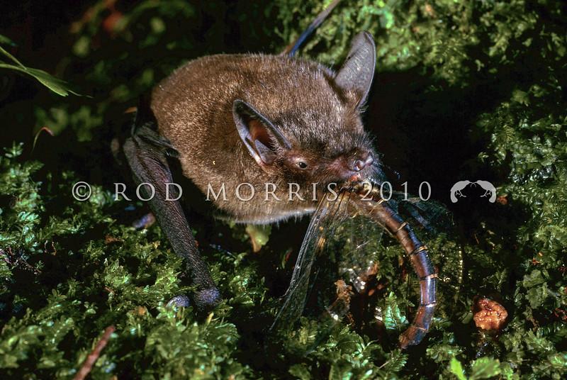 11002-02111 South Island lesser short-tailed bat (Mystacina tuberculata tuberculata) eating female Emerald ranger dragonfly (Procordulia smithii). Codfish Island *