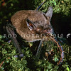 11002-02111 South Island lesser short-tailed bat, or pekapeka tou poto  (Mystacina tuberculata tuberculata) eating female Emerald ranger dragonfly (Procordulia smithii). This curiously semiterrestrial, omnivorous bat is the only surviving species in the bat family Mystacinidae, which is the only mammalian family endemic to New Zealand. Codfish Island *