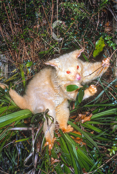 11002-06206  Brushtail possum (Trichosurus vulpecula) an albino male feeding in native Astelia, Rotorua *
