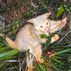 11002-06206  Brushtail possum (Trichosurus vulpecula) an albino male feeding in native Astelia, Rotorua *