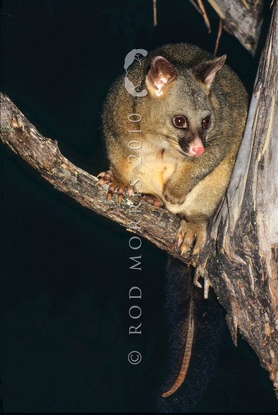 11002-06222  Brushtail possum (Trichosurus vulpecula fuliginosus) a large robust sub-species  from Tasmania. More than half of all possums introduced into New Zealand were this sub-species *