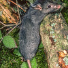 11002-18103  Ship rat (Rattus rattus)  the 'black' rat is one of the three colour forms of ship rat, with a characteristic bluish-tinged black back, merging to a slate-grey belly. Ship rats are the commonest rat in New Zealand, they reach their greatest abundance in lowland forests, and are found in all forest types. They are also found in parks, hedgerows, farmland, and buildings. Their climbing ability means that their habitat is three dimensional incorporating everything from the ground to the treetops. *