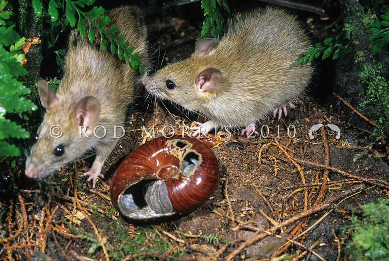 11002-18421  Ship rat (Rattus rattus) pair with a rat-predated Powelliphanta land snail. The ship rat's diet is very broad, incorporating plant and animal material, refuse, and stored food. Ship rats can be wary of new objects and may be initially cautious when a new food is presented. They like to feed under shelter and will often hoard food. They are the commonest rat in New Zealand *