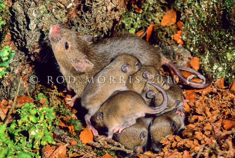 11002-16115 House mouse (Mus musculus domesticus) female with large litter during beech 'masting' year