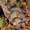 11002-16115 House mouse (Mus musculus domesticus) female with a large litter during a major beech 'masting' year. In major masting years mouse populations may experience a ten-fold increase in density in beech forests, and it is this increased abundances of rodents which also drives up numbers of other introduced predators such as stoats and weasels. Tutoko High Bench, Fiordland *