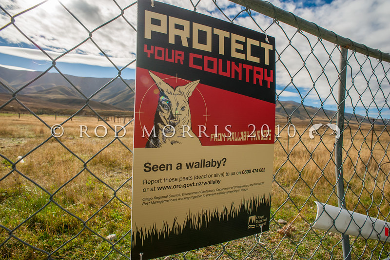 DSC_1238  Bennett's wallaby (Macropus rufogriseus) a wallaby pest sign hanging on a farm gate in North Otago. Confined to the South Island and the largest wallaby in New Zealand, wallabies are widespread in the Hunter Hills inland from Waimate. In more recent times this agricultural pest has dispersed out of South Canterbury, and into North Otago, where this sign was posted in the Upper Manuherikia Valley *