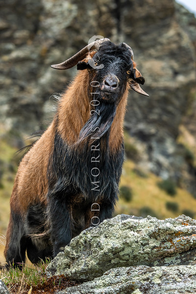 DSC_1979 Feral goat (Capra hircus) wild male. Typical colour of feral goats in the Lake Wakatipu area. Arrowtown *