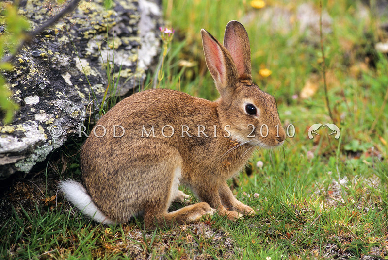 11002-14120 European rabbit (Oryctolagus cuniculus cuniculus) the wild ancestor of all the domestic breeds of rabbit spread around the world by humans. Alexandra *