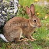 11002-14120 European rabbit (Oryctolagus cuniculus cuniculus) the wild ancestor of all the domestic breeds of rabbit spread around the world by humans